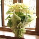 ≪送料無料!≫お歳暮やクリスマスプレゼントに、ぜひ♪ポインセチアの鉢花ギフト(花色:ホワイト)