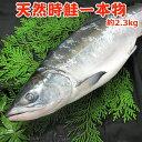 甘塩天然時鮭一本物【約2.3キロ】 送料無料・化粧箱入 切り身対応なし 送料無料
