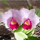 【株のみ販売】蘭 ミニカトレア エンジェルホワイト ※誕生日・母の日・敬老の日などのお祝い花に