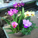 【株のみ販売】蘭 ミニカトレア  5種盛り ※誕生日・母の日・敬老の日などのお祝い花に