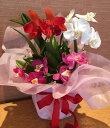 【株のみ販売】蘭 ミニカトレア  3種盛り ※誕生日・母の日・敬老の日などのお祝い花に