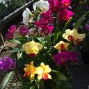 【株のみ販売 10月下旬以降から咲き始めます】蘭 ミニカトレア  8種盛り ※誕生日・母の日・敬老の日などのお祝い花に