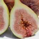 訳あり ご家庭用 フルーツ王国 和歌山県産 産地直送 いちじく 1.6kg