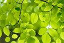 自然 川 河の壁紙輸入 カスタム壁紙 PHOTOWALL / Yellow Wood Green Leaves (e10081)貼ってはがせるフリース壁紙(不織布)【海外取り寄せのため1カ月程度でお届け】【代引き不可】