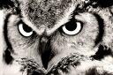 動物 アニマル 梟 フクロウ ふくろうの壁紙 輸入 カスタム壁紙 PHOTOWALL / Great Horned Owl (e1451) 貼ってはがせるフリース壁紙(不織布) 【海外取り寄せのため1カ月程度でお届け】 【代引き・後払い不可】