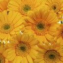 自然 花 フラワー フローラルの壁紙カスタム壁紙 輸入壁紙PHOTOWALL / Yellow Gerbera Close Up (e19503)貼ってはがせるフリース壁紙(不織布)【海外取り寄せのため1カ月程度でお届け】【今だけ送料無料】【代引き不可】