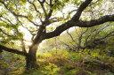 自然 森の壁紙 輸入 カスタム壁紙 PHOTOWALL / Great Oak Tree (e23607) 貼ってはがせるフリース壁紙(不織布) 【海外取り寄せのため1カ月程度でお届け】 【代引き・後払い不可】