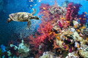 ╞░╩к еве╦е▐еы ене├е║ д│д╔дт╔Ї▓░д╬╩╔╗ц═в╞■ еле╣е┐ер╩╔╗ц PHOTOWALL / Turtle and Corals (e23927)┼╜д├д╞д╧дмд╗дые╒еъб╝е╣╩╔╗ц(╔╘┐е╔█)б┌│д│░╝шдъ┤єд╗д╬д┐дс1ел╖ю─°┼┘д╟дк╞╧д▒б█б┌┬х░·дн╔╘▓─б█