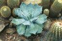 自然 花 フラワー フローラルの壁紙 輸入 カスタム壁紙 PHOTOWALL / Agave Succulent (e24894) 貼ってはがせるフリース壁紙(不織布) 【海外取り寄せのため1カ月程度でお届け】 【代引き不可】