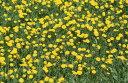 自然 花 フラワー フローラルの壁紙 輸入 カスタム壁紙 PHOTOWALL / Dandelion and Grass (e24902) 貼ってはがせるフリース壁紙(不織布) 【海外取り寄せのため1カ月程度でお届け】 【代引き・後払い不可】