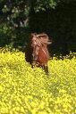 動物 アニマル 馬 ウマの壁紙カスタム壁紙 輸入壁紙PHOTOWALL / Shetland Pony Running Through Buttercups (e29740)貼ってはがせるフリース壁紙(不織布)【海外取り寄せのため1カ月程度でお届け】【今だけ送料無料】【代引き不可】