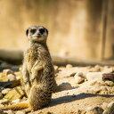 アニマル動物 ミーアキャットの壁紙 輸入 カスタム壁紙 PHOTOWALL / Standing Meerkat (e310643) 貼ってはがせるフリース壁紙(不織布) 【海外取り寄せのため1カ月程度でお届け】 【代引き不可】