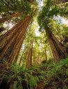 レッドウッド 森林 自然の壁紙 輸入 カスタム壁紙 PHOTOWALL / Redwood Forest (e313884) 貼ってはがせるフリース壁紙(不織布) 【海外取り寄せのため1カ月程度でお届け】 【代引き不可】
