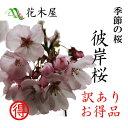 【季節の桜】【発送は3月上旬より】【訳あり】 彼岸桜 高さ1m?0.6m 小枝 1束 10本程度 切