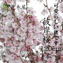 【まもなく販売終了】彼岸桜 ひがんさくら 生花 切花 活花 華道 店舗 イベント 装飾 プレゼント