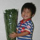 【花材】【緑】アセビ(馬酔木)80cm 10本組