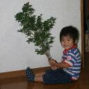 【レビューを書いて送料無料】【花材】【緑】【送料対策に】アセビ(馬酔木)80cm程度 1本