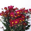 きれいな赤色 小菊 【お供え 花】赤 60�75センチ 10本【切花】【生花】【華道】【正月】【盆】【お彼岸】【墓花】【仏花】【赤】【まとめ買い】