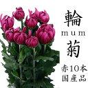 艶やかな赤色 菊 赤 輪菊 花 70〜80センチ 10本切花 生花 華道 正月 彼岸 お供え 墓花 仏花 まとめ買い