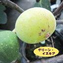 【イチジク属】グリーン・イスキア(二年生接木苗)4号LLポット