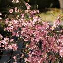 【サクラ属】庭サクラピンク一重咲き4号Lポット