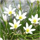 【ゼフィランサス属】ホワイト(玉すだれ)3.5号ポット