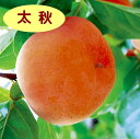 【カキノキ属】(甘柿)太秋(接木苗)4号LLポット
