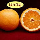 数量限定【ミカン属】柑橘 はれひめ(二年生接木苗)4号LLポット