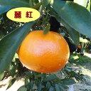 【ミカン属】柑橘 麗紅(二年生接木苗)4号LLポット
