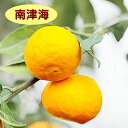 【ハイブリット系柑橘ミカン属】南津海(接木苗)4号LLポット