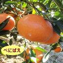 【ハイブリット系柑橘ミカン属】べにばえ(接木苗)4号LLポット