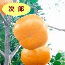 【カキノキ属】甘柿 次郎(二年生接木苗)4号LLポット