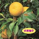 【ミカン属】大実柚子(ほんゆず)(二年生接木苗)4号LLポット