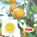 【香酸柑橘系ミカン属】多田錦(接木苗)4号LLポット
