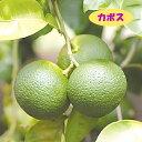 【ミカン属】カボス(二年生接木苗)4号LLポット