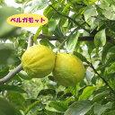 【ミカン属】ベルガモット(二年生接木苗)4号LLポット