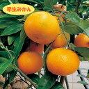【温州系柑橘ミカン属】早生みかん(接木苗)4号LLポット