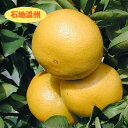 【温州系柑橘ミカン属】石地温州(接木苗)4号LLポット