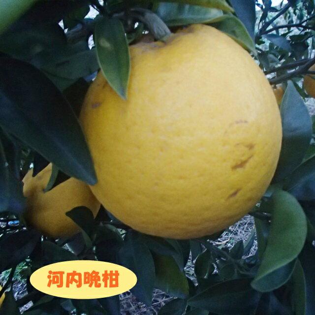 【ミカン属】河内晩柑(かわちばんかん)(二年生接木苗)4号LLポット