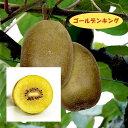 【アクチニディア属】キウイ(メス木)ゴールデンキング4号LLポット