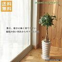 送料無料!観葉植物【パキラ属】パキラ丸陶器6号鉢...