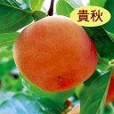 【カキノキ属】甘柿 貴秋(二年生接木苗)4号LLポット
