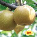 【ナシ属】梨 豊水(二年生接木苗)4号LLポット