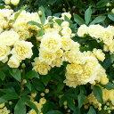 【バラ属】モッコウバラ八重咲きイエロー3号ポット苗