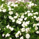 【バラ属】モッコウバラ八重咲きホワイト3号ポット苗