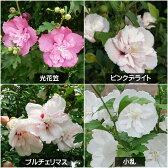 【フヨウ属】鉢植え向きムクゲ八重 3.5号Lポット