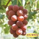 【今季売り切れ】【ブドウ属】シナノスマイル 4号LLポット
