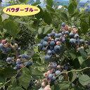 【スノキ属】ブルーベリーラビットアイ系パウダーブルー(挿木苗)4.5号ポット