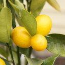 【その他柑橘系ミカン属】キンカン(接木苗)4号LLポット