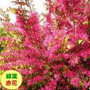 【マンサク属】 緑葉トキワマンサク紅花 3.5号ポット